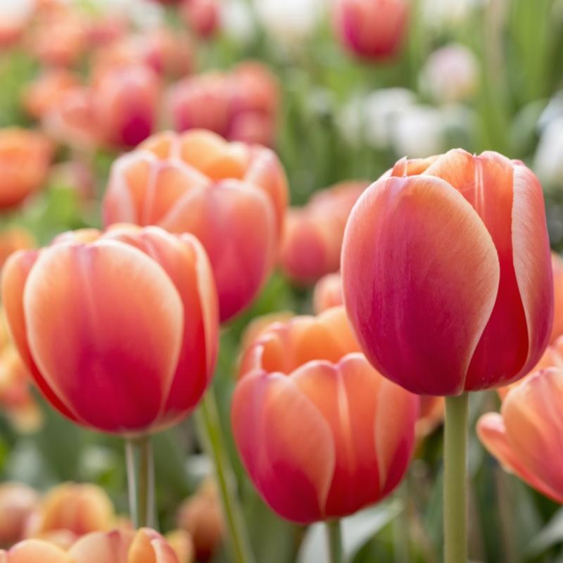 Jak pěstovat narcisy a tulipány