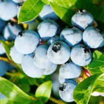 Kanadská borůvka Alix Blue