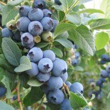 Kanadská borůvka Bluecrop