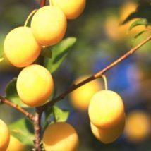 Špendlík žlutý
