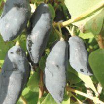 Zimolez kamčatský Blue Banana